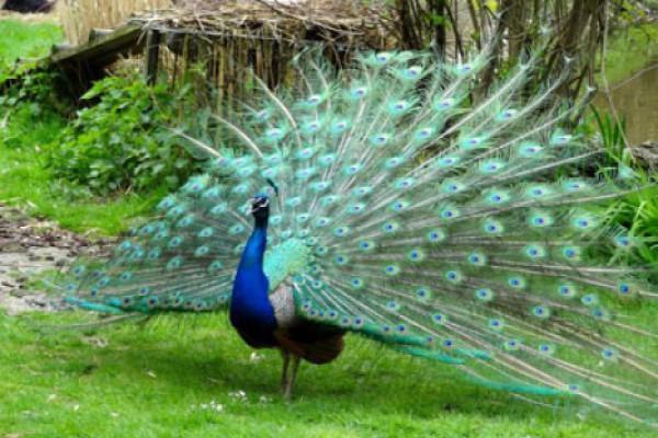 Photo of მეფრინველეობა კახეთი ფარშევანგების გაყიდვას იწყებს