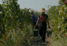 Photo of 16 სექტემბრის მონაცემებით კახეთში 120 ათას ტონამდე ყურძენია გადამუშავებული