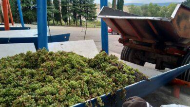 Photo of 14 სექტემბრის მონაცემებით, კახეთში 100 000 ტონამდე ყურძენია გადამუშავებული