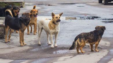 Photo of ახმეტაში მიუსაფარი ძაღლების ვაქცინაცია-სტერლიზაცია იწყება