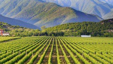 Photo of საკადასტრო ამონაწერის გარეშე, მევენახე ღვინის საწარმოს ყურძენს ვერ ჩააბარებს